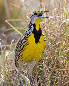 i love Eastern Meadowlarks. When you're driving in the country, these birds can be spotted along the road. They bend forward, almost touching the ground as if they could hide completely by hiding their yellow vests.