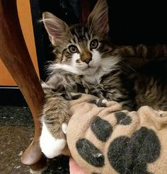 """""""Mi piace"""": 60, commenti: 1 - Andrea Amaroli (@hollycoon_cattery) su Instagram: """"HOLLYCOON Cupido www.hollycoon.com #hollycoon #mainecoon #catsoftheworld #catslover #catsofinstagram"""" Cute Cats And Kittens, I Love Cats, Kitty Cats, Maine Coon Kittens, Norwegian Forest Cat, Cattery, Beautiful Cats, Pet Birds, Animals And Pets"""