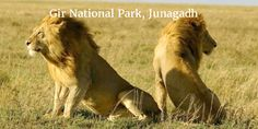 The Gir National Park is famous for its thriving population of the Asiatic Lions and is major protected wildlife reserve in the State of Gujarat. The forests were once the hunting reserves of the royal family of Junagarh who later played a pivotal role in the conservation of lions in the region. Apart from the Lions, the forests of Gir are also home to a varied species of animals, birds and reptiles.