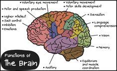 Labeled Diagram Of the Brain . 25 Labeled Diagram Of the Brain . Human Brain Diagram – Labeled Unlabled and Blank Brain Science, Science Biology, Brain Food, Human Brain Diagram, Neurofeedback Therapy, Brain Lobes, Ap Psych, Traumatic Brain Injury, Brain Training