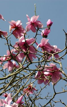 Blue skies turning grey show off the brightest pink #magnolia at #Glendurgan near #Falmouth in #Cornwall  #spring #garden #flower