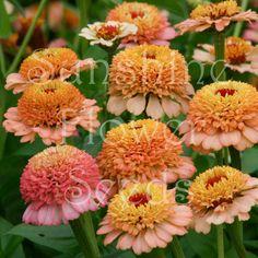 Sunshine Flower Seeds Unique Cottage Garden, Waterwise