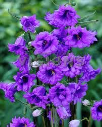Campanula 'Bernice' - i love this one and has the same name as my Grandmother <3. have this one at my mom's house.