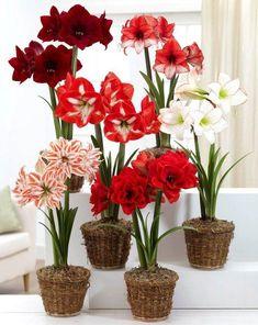 sweet dream amaryllis bulbs | Valrico FL 813 661-8264