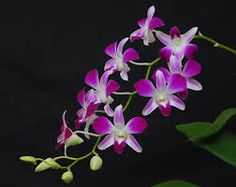 Image result for Dendrobium