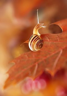 Snail is a common name that is applied most often to land snails, terrestrial pulmonate gastropod ...