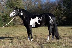 RC SLICK JACKMCCUE - Black paint horse stallion