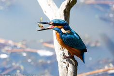 Majestic: A kingfisher is seen with a stickleback between its beak in Gosforth…