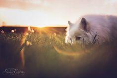 American Eskimo Dog at sunrise by Soraya Rudofsky Photography. Lensbaby Edge 80, Flare.