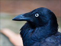 Australian Raven. I used to think all ravens and crows had white eyes like this, but apparently, this is unique to the Southern Hemisphere.