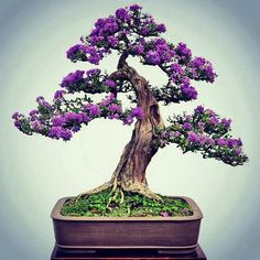 Bonsai styles are different ways of training your bonsai to grow the way you want it to. Get acquainted with these styles which are the basis of bonsai art. Bonsai Fruit Tree, Flowering Bonsai Tree, Mini Bonsai, Trees To Plant, Ikebana, Mini Plantas, Bougainvillea Bonsai, Bonsai Flowers, Bonsai Styles