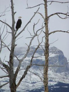 Eagle taking in the view at Glacier National Park! Winter Cabin, Big Sky Country, Spring Lake, Zen Art, Beautiful Love, Native American Art, Eagles, Bald Eagle, Montana