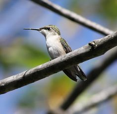 Perched Female Hummingbird