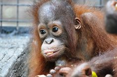 Cute Baby Animals, Animals And Pets, Orangutan Monkey, Types Of Monkeys, Forest Conservation, Ape Monkey, Animal Tracks, Monkey Business, Baby Dogs