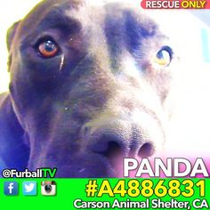 """#SavePANDA - #A4886831 ❤️WONERFUL CUTIE❤️ DUMPED for MOVE RESCUE ONLY  IN 53 DAYS  Beautiful PANDA has been at #CarsonShelter 53 DAYS and this once spunky monkey is becoming increasingly depressed. She's SO gentle & polite but now has the question in her eyes, """"Why did they do this to me?"""" That question goes to her 'parents' who dumped her in the worst place in the world when they moved . She's RESCUE ONLY (not sure why - seems SO good) so she's trapped in her kennel 24/7 & can't go ou"""