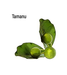 Learn all about various tamanu oil benefits and how using tamanu nut oil on a regular basis as a remedy for common ailments can help significantly improve your body and overall well being. Dry Skin Causes, Benefits Of Coconut Oil, Oil Benefits, Skin Care Remedies, Natural Remedies, Tamanu Oil, Scaly Skin, Coconut Oil For Face, Healing Oils