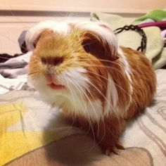 soliveyourlife:    Oh hayyy.  #mufasa #cutie #guineapig