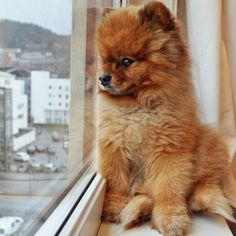 Marvelous Pomeranian Does Your Dog Measure Up and Does It Matter Characteristics. All About Pomeranian Does Your Dog Measure Up and Does It Matter Characteristics. Pomeranian Facts, Pomeranian Breed, Cute Pomeranian, Pomeranians, Pomchi Dogs, Cute Puppies, Cute Dogs, Dogs And Puppies, Doggies