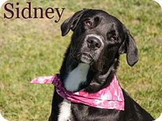 Pictures of Sidney a Border Collie/Rottweiler Mix for adoption in Hamilton, MT who needs a loving home.