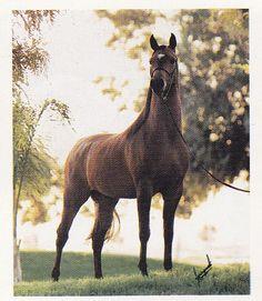 AAF Kaset (Aladdinn x Kaseta) A 1980 Arabian stallion who was 1984 North American Triple Crown Halter Champion.