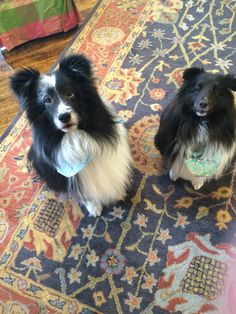 Meet Weaver & Suky! Weaver is 13 years old, and Suky (pictured on right) is 5 1/2 years old. Suky was also a rescue & had been a part of the family for about 2 years. #PoshBridallLanc #Lancaster #Bridal #Sheltie #ShetlandSheepdog #Rescue #RescueDog #Dog #Adopted