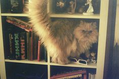 That's a fluffy one. #cat #books
