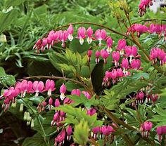 Pine tree tolerant plant:  Bleeding heart – These plants really do not need water other than the first week or two after planting, they can handle some pretty extreme conditions. Many of the plants in this family form fern leafed mounds of green, choose the low-growing, spreading types and let them do their thing.