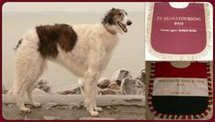 She wins again in this year;  HUNGARIAN COURSING CHAMPION 2012 &  TOP BORZOI COURSING 2012