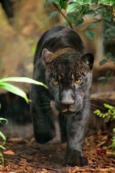 Aramis, jaguar d'Amérique du Sud (Panthera onca), photo F.-G Grandin / MNHN zoo de vincennes parrainer un animal a partir du 15 novembre 2013