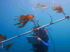 Scientists Hope To Farm The Biofuel Of The Future In The Pacific Ocean