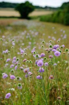 Country flower fields