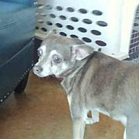 Austin, Texas - Chihuahua. Meet TILA, a for adoption. https://www.adoptapet.com/pet/21424927-austin-texas-chihuahua-mix