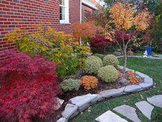 Acer palmatum 'Orangeola'. Acer japonicum 'Aconitifolium' fall color. 'Sango kaku' (center)
