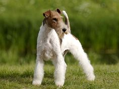 WIRE-HAIRED FOX TERRIER Chien Fox Terrier, Wirehaired Fox Terrier, Fox Terriers, Wire Fox Terrier, Airedale Terrier, Animals And Pets, Cute Animals, Wire Haired Terrier, Lakeland Terrier