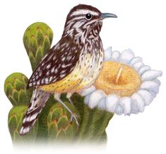 Arizona State Bird and Flower - Cactus Wren / Heleodytes ...