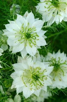 Nigella 'Love in a Mist' - hardy annual, direct sow seeds relatively deep in soil three to six inches apart, full sun or partial shade, do not overwater | summer bloom, aromatic flowers | 12 to 24 inches in height