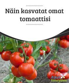 Näin kasvatat omat tomaattisi   #Tomaatit ovat monille lähes #päivittäinen ruoka. Niitä voi helposti kasvattaa myös #kotikonstein.  #Terveellisetelämäntavat