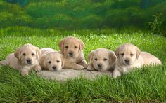 Labrador Retriever Puppies Victoria : Yellow Labrador Puppies Playing, Feeding and Barking. Cute Yellow Lab Pups - Just Labrador Really Cute Puppies, Cute Little Puppies, Adorable Puppies, Pet Dogs, Dog Cat, Pets, Labrador Dogs, Doggies, Raza Labrador