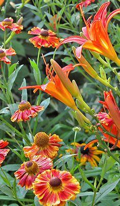 Eine weitere gute Wahl für Gelb und Rostrot sind natürlich Taglilien in vielen Schattierungen.   Links eine späte rostrote Taglilie mit einer gelb gerandeten Sonnenbraut .  Sandfrauchen, Lieblingspflanzen im August