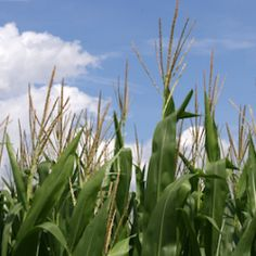 Huffington Post Wants To 'Teach The Controversy' On GMOs.