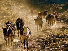 Caravane d'ânes dans les Andes (Perou)