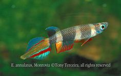 clown killifish.