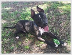 lizardmarsh: Tampa FL: Adopt Jacques-Louis the Classical Dog