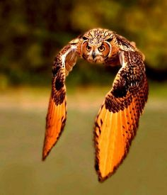 I love it when people take pictures of owls in this position, it really lets you see how huge their wingspan is, and it's really pretty.