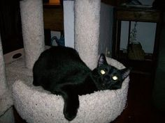 Gavin is an adoptable Domestic Short Hair-Black Cat in Sheboygan, WI. Hello everyone. My name is Gavin. I was born on February 8, 2007. I am a very friendly cat once I get to know you. I love attentio...