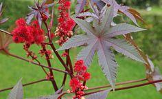 Die 10 gefährlichsten Giftpflanzen im Garten.  Im Garten und in der Natur gibt es viele Pflanzen, die schön aber giftig sind – und einige sehen essbaren Pflanzen sogar zum Verwechseln ähnlich! Wir stellen Ihnen die gefährlichsten Giftpflanzen vor.