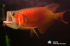 Asian Arowana - Google Search