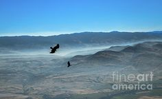 Soaring Ravens :http://fineartamerica.com/profiles/robert-bales/shop/all/all/all