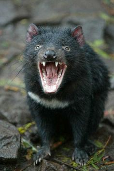 Did you know the Tasmanian devil is the largest carnivorous marsupial of Australia? Creepy Animals, Ugly Animals, Unusual Animals, Cute Animals, Strange Animals, Beautiful Creatures, Animals Beautiful, Reptiles, Mammals