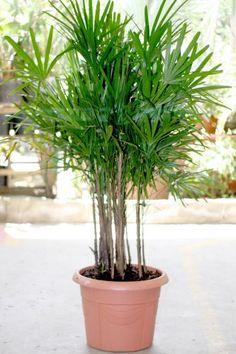 Palmeira Ráfia: Também conhecida como Palmeira Ráfis, tem crescimento lento e é adequada para cultivo em vasos em ambientes internos bem ilu...